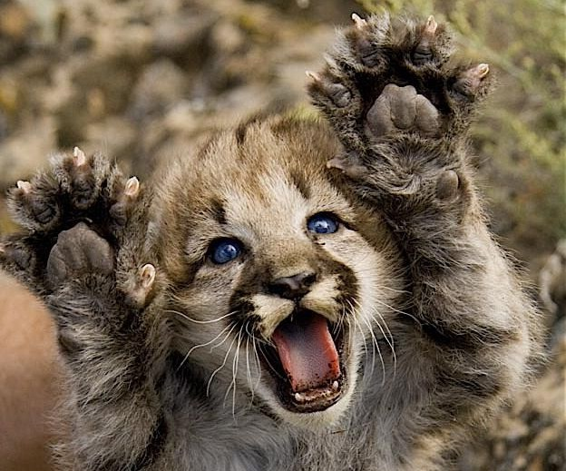 cute-baby-mountain-lion - The nuSchool